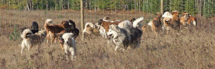 Pár z Kanady navštívil útulek a odvezl si z něj 45 psů. Podívej, jak vypadá jejich šťastný život - Evropa 2