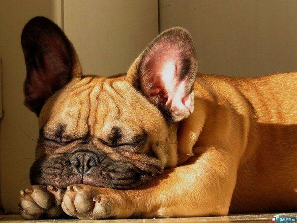 French Bulldog. Sunny snooze.: Animals, Puppies, French Bulldogs, Pets, Frenchbulldog, Puppy, Sun, Furry Friends
