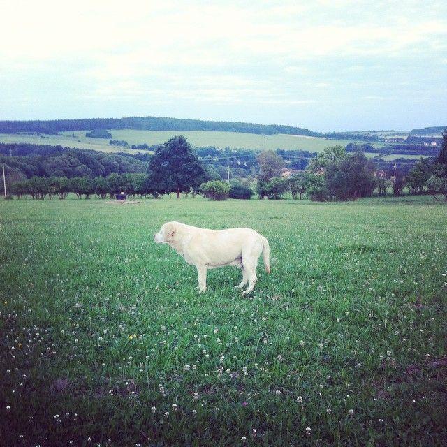 walking Billy #WHPwindy #weeklyfluff #whitelab #igerscz #iglifecz