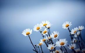 Обои цветы, ромашки, фон, синий