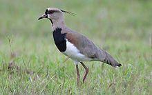 List of birds of Trinidad and Tobago - Wikipedia, the free encyclopedia
