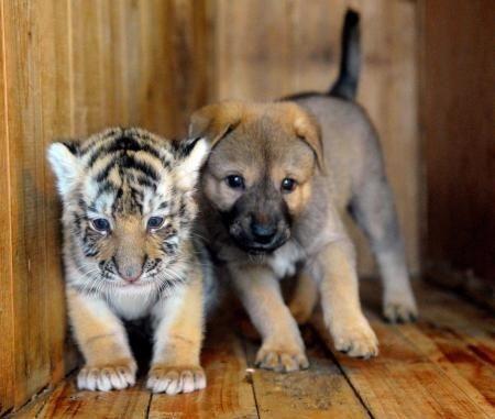 Risultato della ricerca immagini di Google per http://3.bp.blogspot.com/_VVDtDzPrryI/TPzsiZaiwoI/AAAAAAAAKmA/SEAsFXAwEQs/s1600/7-cucciolo-tigre-siberiana-nutrito-da-un-cane-07.jpg: Animal Pictures, Dogs, Pet, Tiger Cubs, Cutest Animals, Tigers, Animal Friendships, Puppy Finds