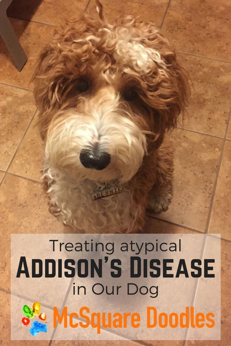Treating Addison S Disease In Dogs