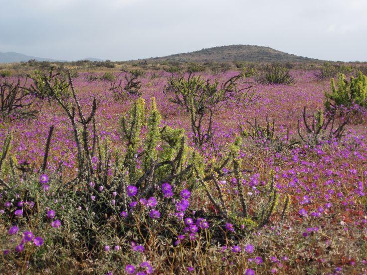 Desierto Florido Copiapo Chile