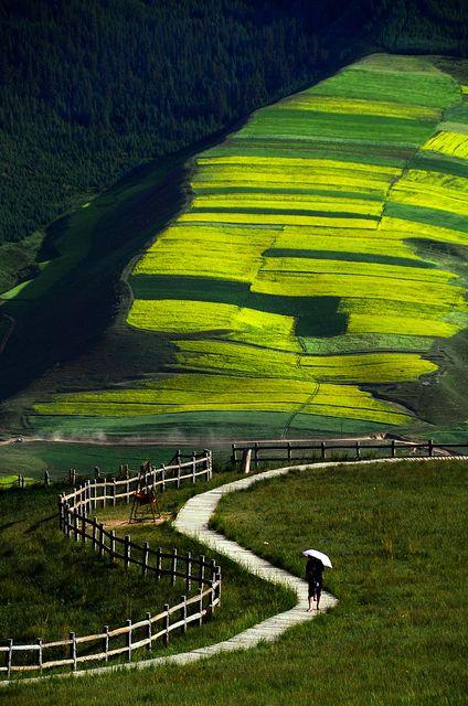 Travel Asian China Qilian, Qinghai, China 青海 祈連 Rapeseed field