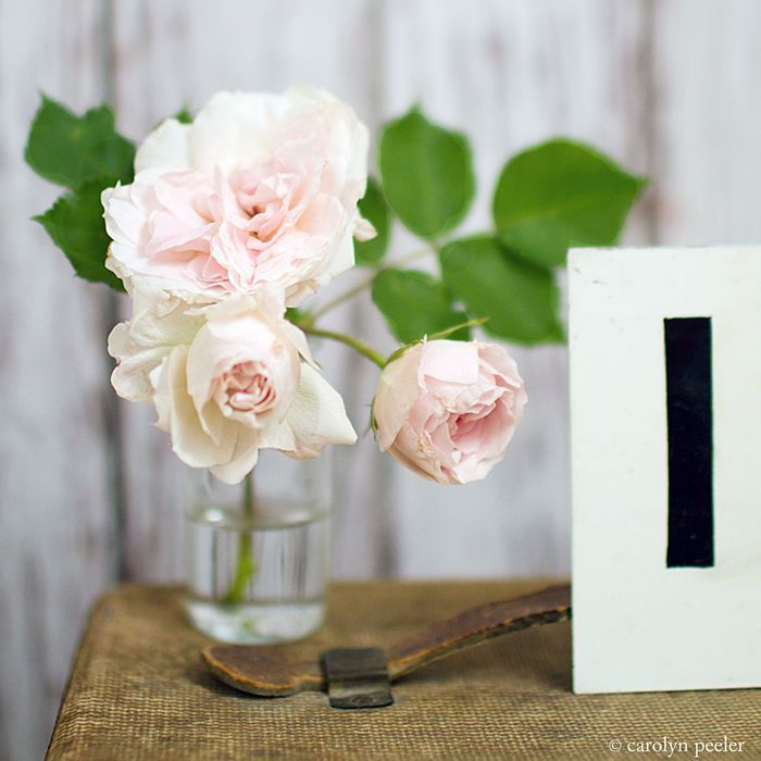 pink roses. Photograph by Carolyn Peeler