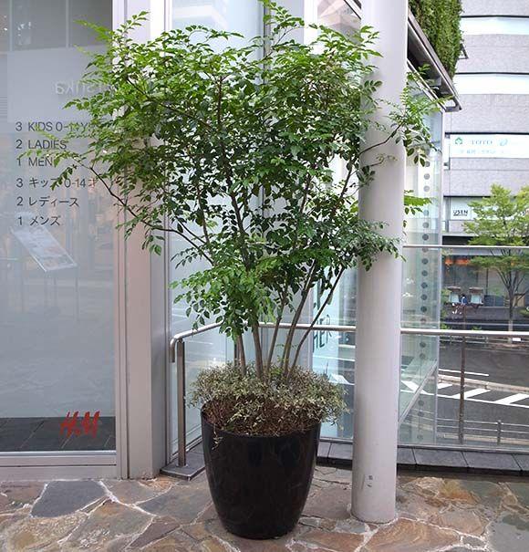 庭木のシンボルツリーとしても人気のシマトネリコ 観葉植物