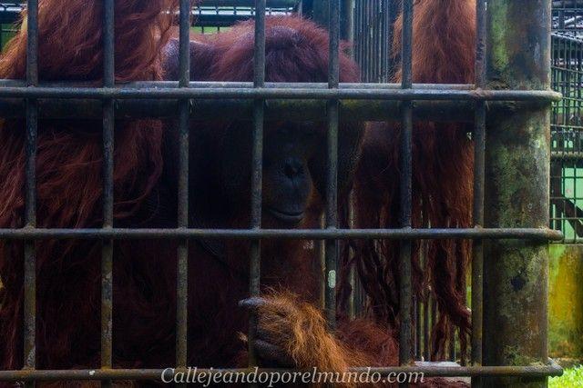 peter orangutan centro matang kuching borneo