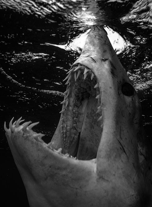 Black & White. Water. Sea. King. Champ. Jaws. Shark. White. Rows. Frightful. Blood. Nature. Animal. Clean. Danger. Art. Great Picture.