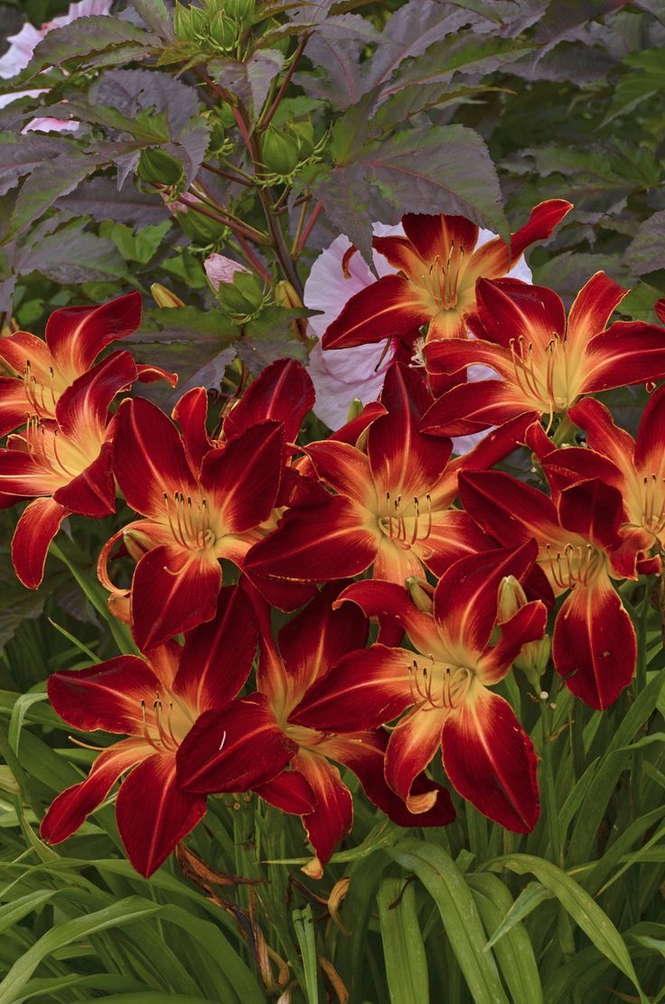 "Rainbow Rhythm daylily is a must-have perennial for the back portion of your landscape, It can reach up to 34"" in height and each bloom is 9"" wide! Best in full to part sun."