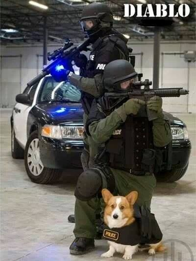 TactiCorg - Don't laugh. They're as fierce and strong as any German Shepherd, will bite just as hard if necessary, can get into the tightest places, and are faster and quicker than most other breeds.