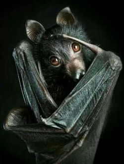 scary animals Bat creepy horror Halloween nature bats vampire goth gothic Macabre spooky dracula vampires vampire bat mammals flying fox Fruit bat Everyday is Halloween