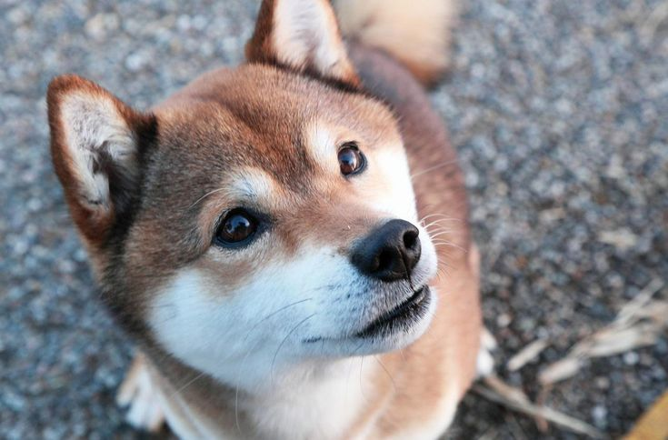 Shiba-inu : la star des chiens japonais - http://www.kanpai.fr/japon/shiba-inu-chiens-japonais.html