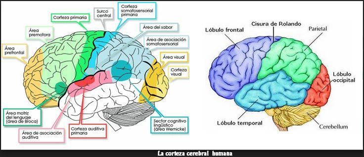 Tema: 09 2 . SISTEMA NERVIOSO HUMANO 2.1. Sistema Nervioso Central y Sistema Nervioso Periférico En todos los vertebrados el sistem...