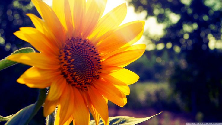Sunflower Wallpapers For Android