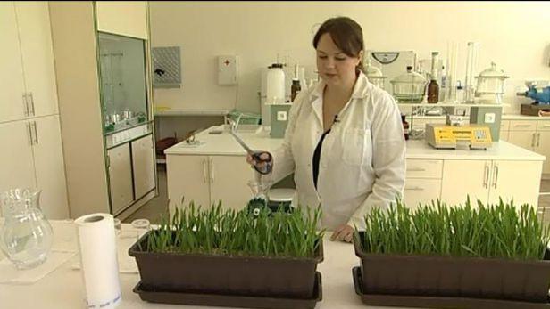 Udělejte si šťávu ze zeleného ječmene, radí vědci z Mendelovy univerzity