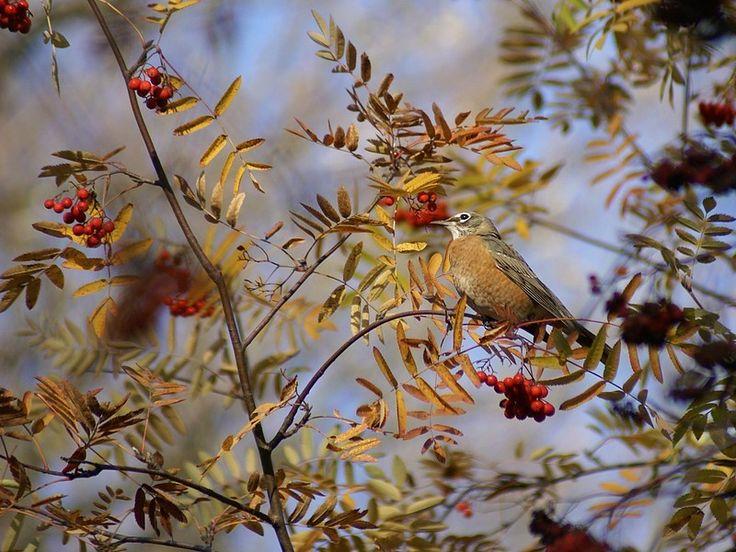 http://faaxaal.forumactif.com/t386-photo-d-oiseau-merle-d-amerique-turdus-migratorius-american-robin
