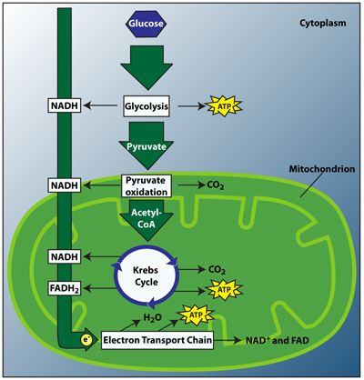 Cellular Respiration The Process That Allows Organisms To