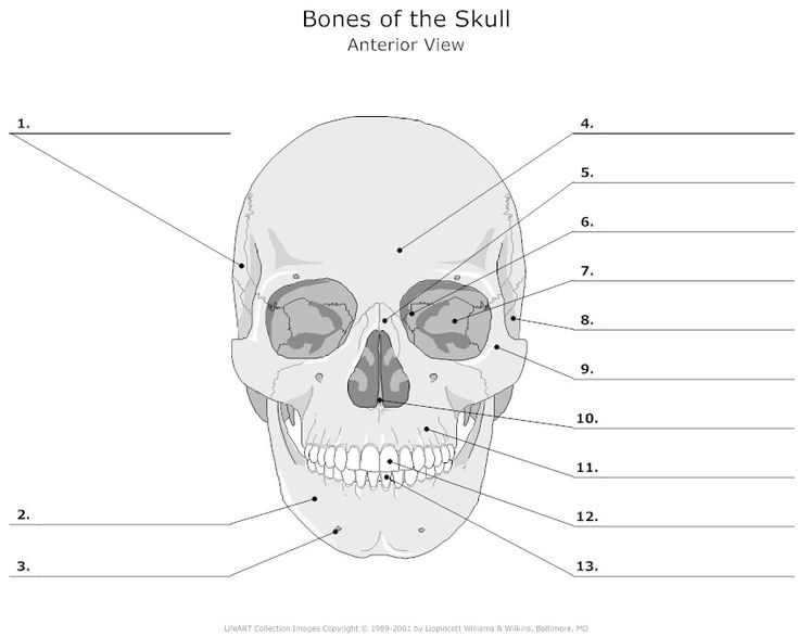 College Anatomy Worksheets For Students : Worksheets bones of the skull printable for