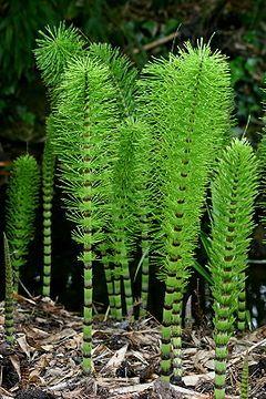 horsetail - Equisetum arvensis - peut être envahissante - combat le mildiou et les champignons (riche en silice et sulfure) mais toxique.