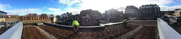 Lavender planted roof in Mayfair, London as planted by Richard Norris from Long Barn and the team at Wild About Roofs. Nov 2014