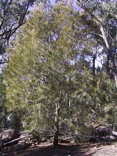 black she-oak Allocasuarina littoralis medium tree; fine needle foliage; male trees a rusty colour during winter flowering period; butterflies