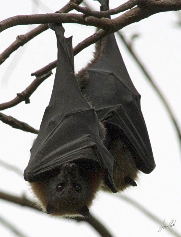 TrekNature | Fruit Bats Photo, I wish er had these at my cave where I work!