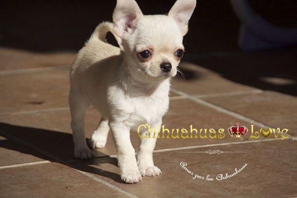 Chihuahuas Love - ¿Se Venden Muchos Chihuahuas en España? Raza Chihuahua.