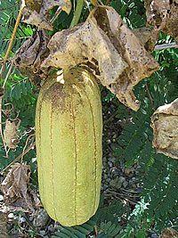 As 96 melhores ideias sobre trepadeiras no pinterest - Esponja natural vegetal ...