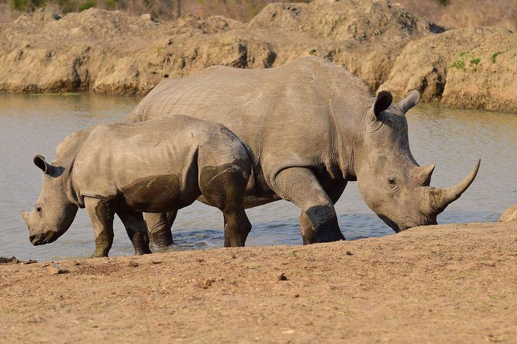 In Südafrika gibt es sowohl die White als auch Black Rhinos. Die Bezeichnung hat allerdings nichts mit der Farbe der Tiere zu tun.