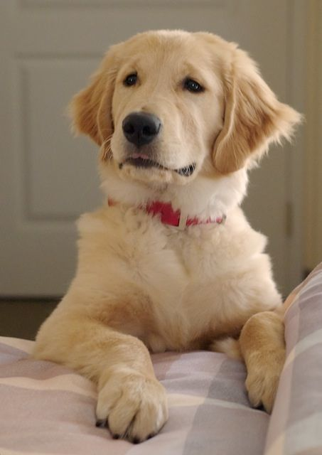 Golden Retriever Puppy's First Night in a Hotel by scattered1, via Flickr