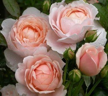 Zdjęcie Ambridge Rose (Auswonder)