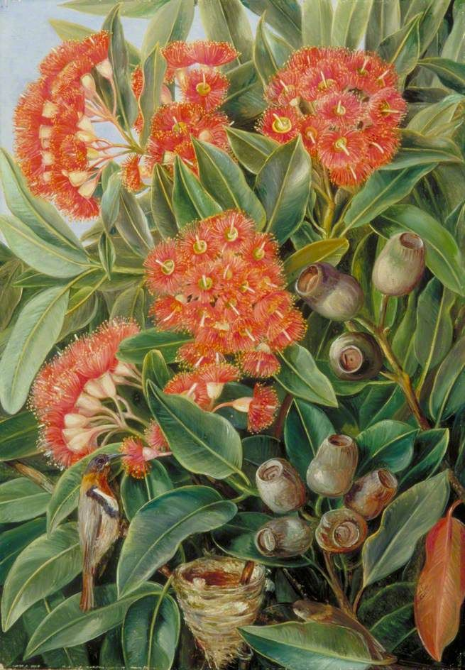 Flowers And Seed Vessels Of A West Australian Gum Tree And
