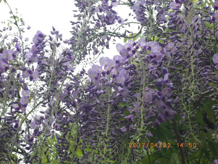 #my photo #wisteria #flower