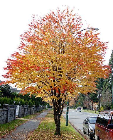 Cercidiphyllum japonicum - Katsura Tree