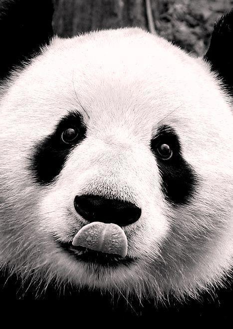 Ansichtkaart gefotografeerde panda in zwart-wit. Fotografie dieren kaart monochrme decoratie foto sfeerbeeld