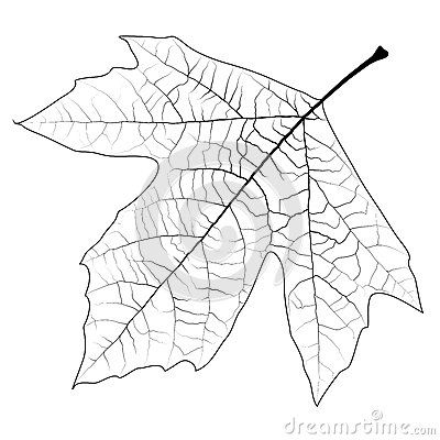 Sycamore Tree Leaves Image