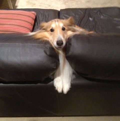 Shetland Sheepdog ~ AND YOU GOT IN THIS POSITION...HOW? SILLY DOG. YOU MAKE ME LAUGH EVERY DAY, THANK YOU FOR THAT ~