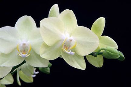Phalaenopsis 'Kung's Green Star' displayed by McBeans Orchids. Hampton Court Palace Flower Show 2007. Tim Sandall/RHS The Garden