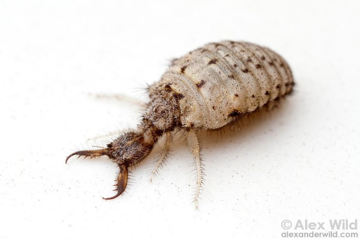 A larva of a Myrmeleon sp. antlion, uncomfortably pulled from its burrow.  Orlando, Florida, USA
