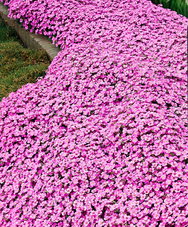 pink arabis (rockcress), makes a good perennial groundcover