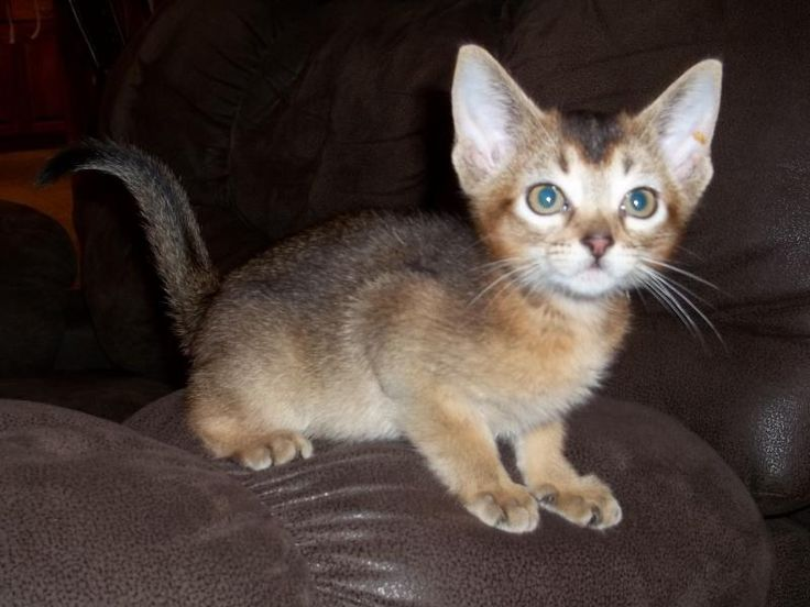 Abyssinian cats for sale montreal