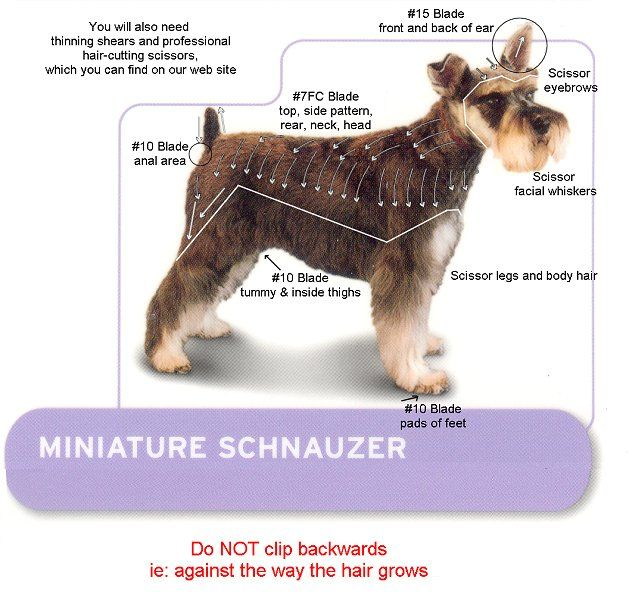 Mini Schnauzer Hair Cut | miniature schnauzer kit miniature schnauzers can be as handsome at ...
