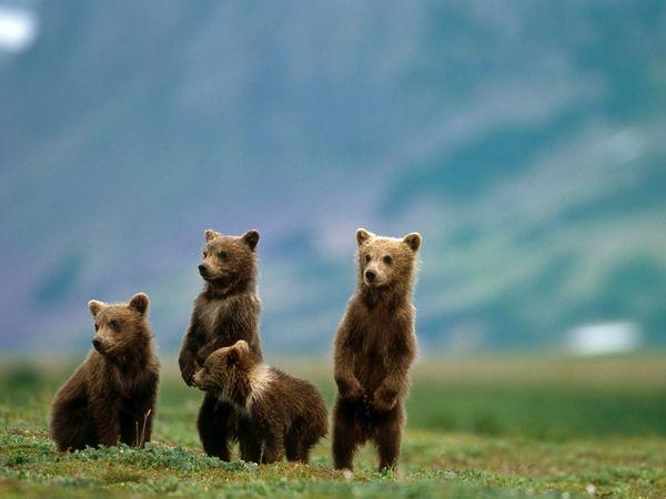 Katmai National Park, Alaska.     Grizzly bear viewing!