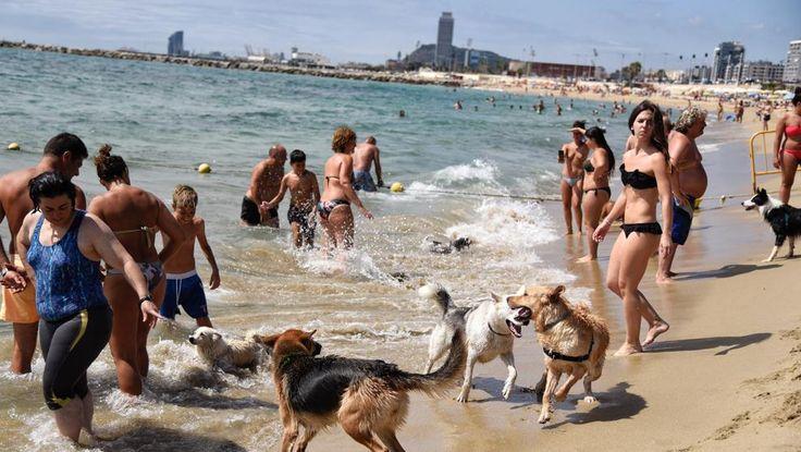 Barcelona inicia la temporada de playas, que repite área para perros - El Ayuntamiento pone en marcha los servicios municipales para la temporada media de baño, que incluyen los servicios de vigilancia, prevención e información ciudadana y ocio. #AtipikaBarcelona #AtipikaBcn #Barcelona #Playa #Verano #PlayadePerros #LaVanguardia
