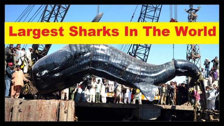 Top 10 Largest Sharks In The World '10 Biggest Sharks In The World'