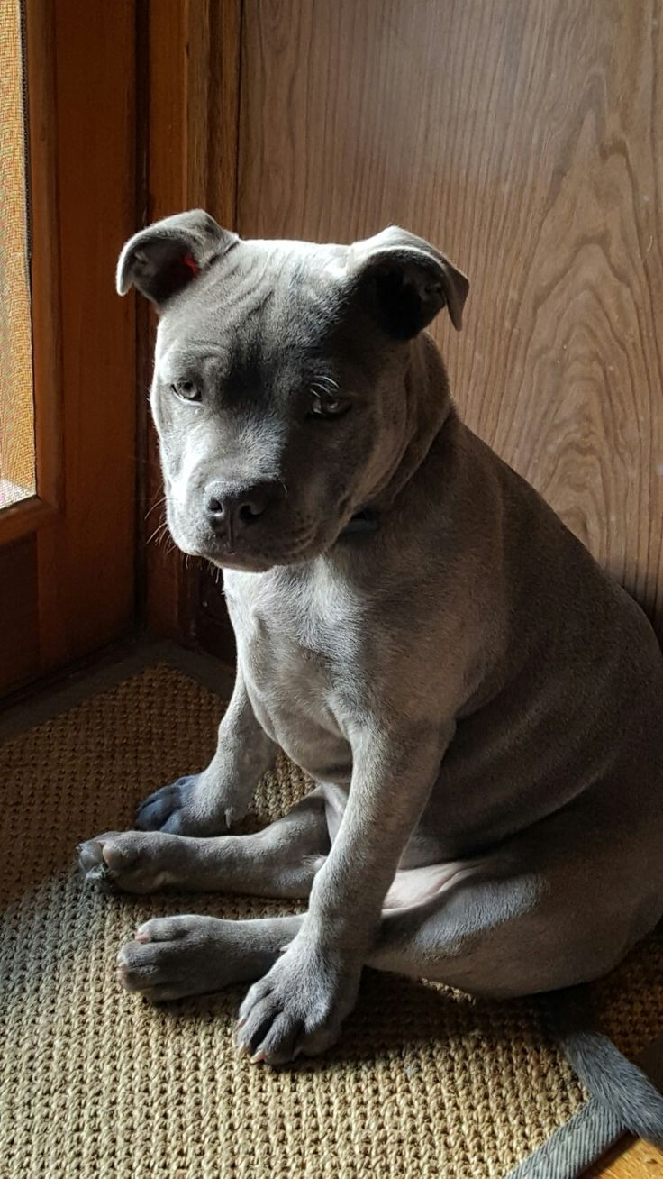 Odin Our English Blue Staffordshire Bull Terrier About 5 Months