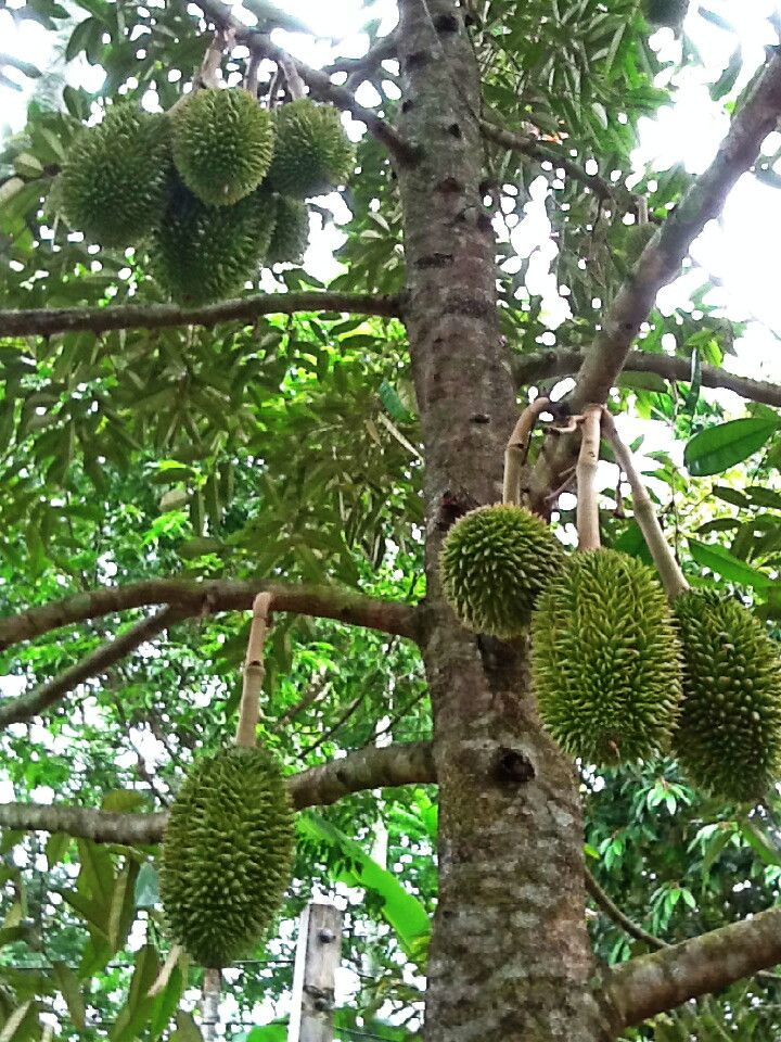 Durian Tree (um tipo de jaqueira?)
