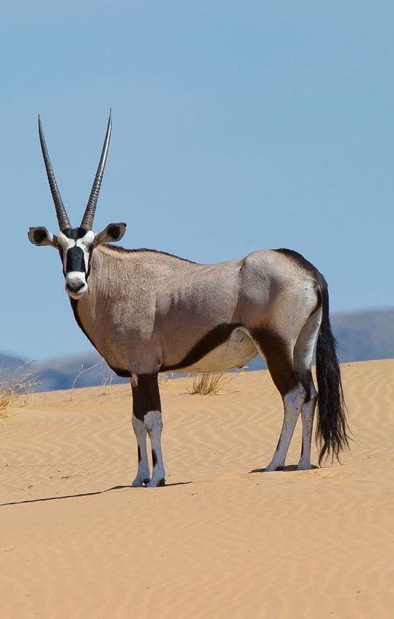 Oryx in the Namibian desert near Serra Cafema Camp. Timbuktu Travel.