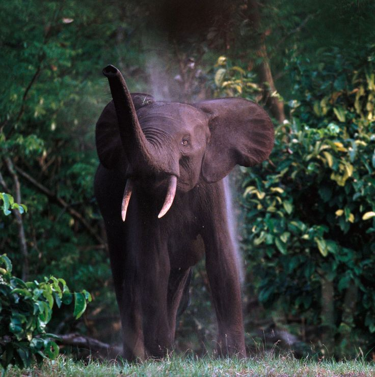 A forest elephant in Gabon. Loxodonta africana cyclotis is the elusive smaller cousin of  the more familiar savanna elephant (Loxodonta africana). Both species—forest elephants and African elephants—are classified as endangered on the World Conservation Union's Red List. NGS photo by Michael Nichols.